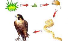 ¿Qué es una cadena alimenticia?