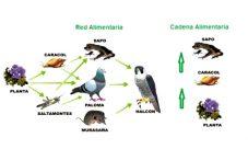 Diferencia entre cadena alimenticia y red trofica