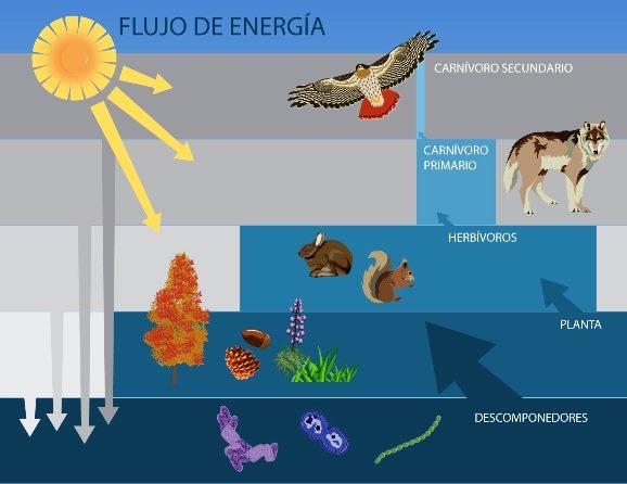 ¿Qué es el flujo de la energía en los ecosistemas?