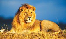 Cadena alimenticia del león