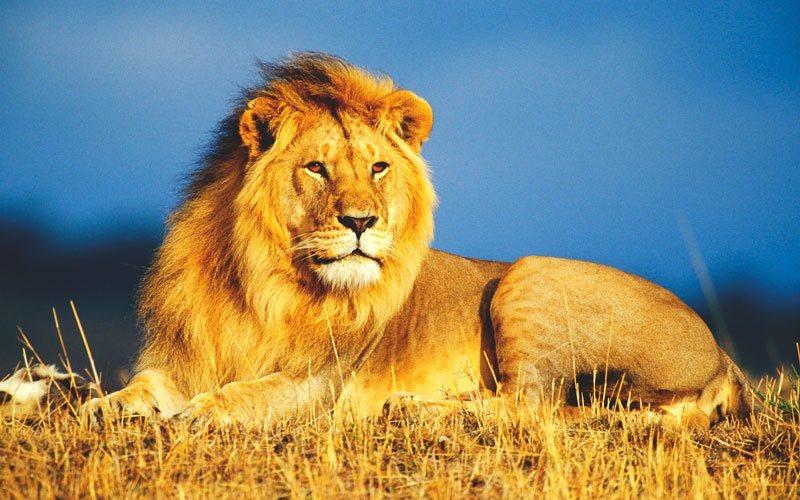 conocer-cadena-alimenticia-del-león