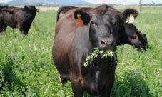 Cadena alimenticia de la vaca