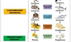 ¿Cómo se forma la cadena alimenticia?